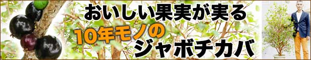 おいしい果実ジャボチカバの木