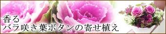 葉牡丹:プラチナケール