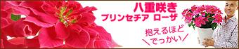 八重咲きプリンセチア