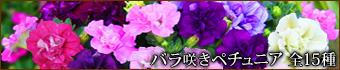 バラ咲きペチュニア 全15種