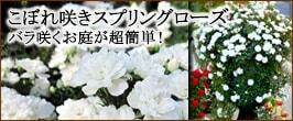 こぼれ咲きローズ