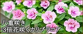 カリブラコア6苗セット
