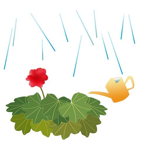 ゼラニウムを梅雨から守る方法