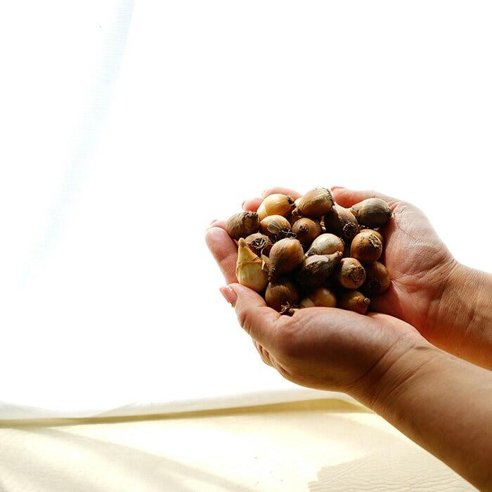 秋植え球根フェスティバル