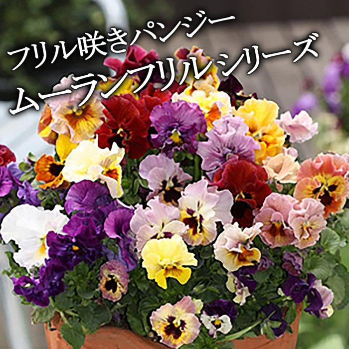 【10月下旬より出荷】フリル咲きパンジー*ムーランフリルシリーズ