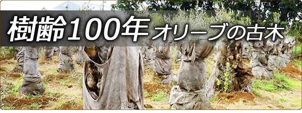 樹齢100年オリーブの古木