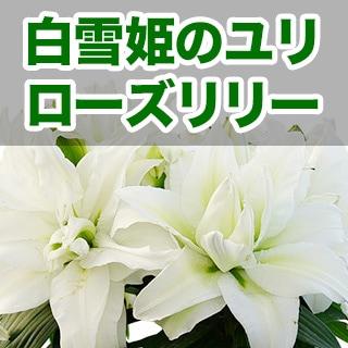 母の日 大輪ゆり八重咲き白