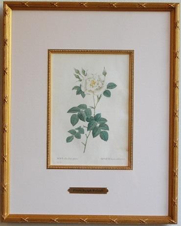 redoute Rosa Alba flore pleno