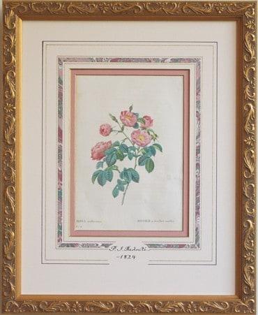 redoute Rosa mollissima
