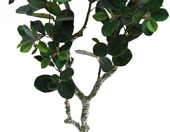 人工観葉植物フランスゴムの木1200の根本
