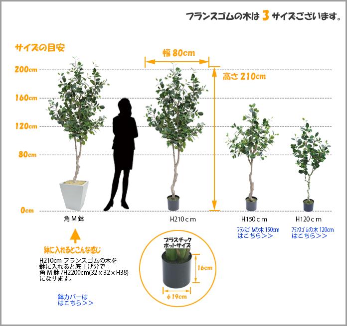 フランスゴムの木2100サイズ