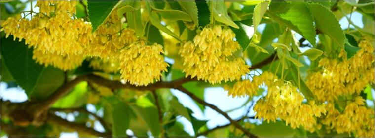 国産菩提樹(ぼだいじゅ)の花のはちみつ