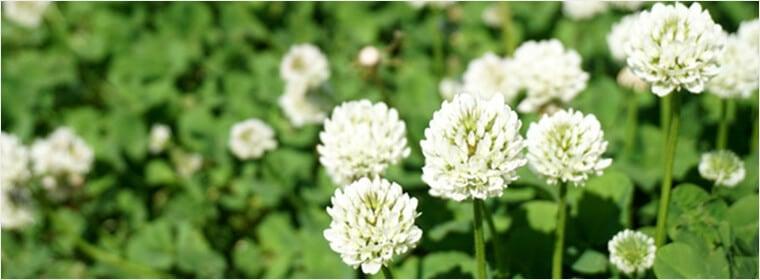 クローバーの花のはちみつ