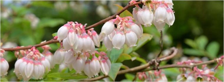 カナダ産ブルーベリーの花のはちみつ