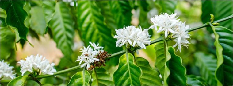 ブラジル産コーヒーの花のはちみつ