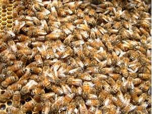 巣に帰ってきた働き蜂