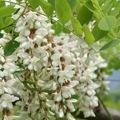 青森産 アカシアの花のはちみつ