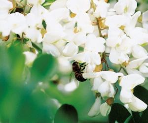 ハンガリー産アカシアの花のはちみつ