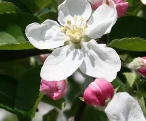 青森産りんごの花のはちみつ