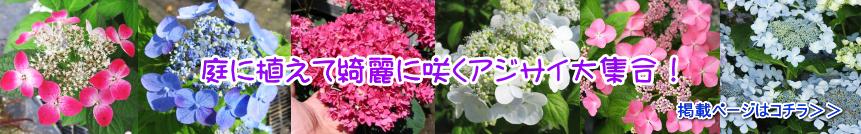 赤塚植物園オンライン 庭に植えて綺麗に咲く アジサイ苗・2021年