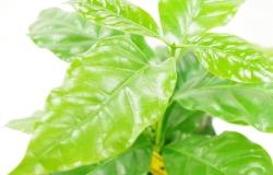 コーヒーの木に実をならせよう!