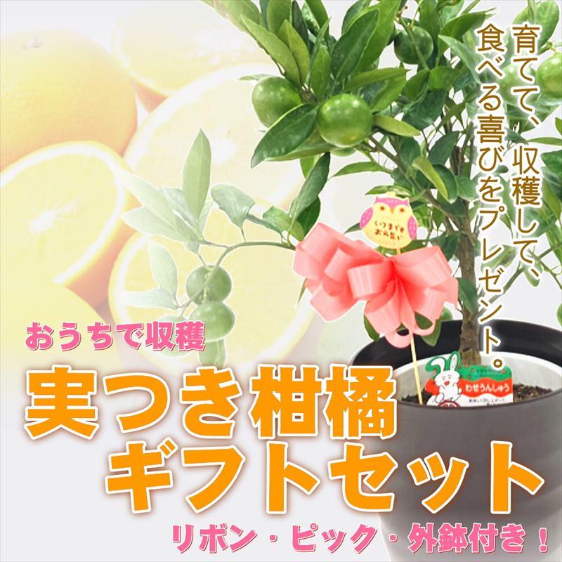 実付き柑橘ギフト