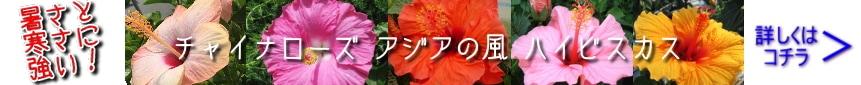 チャイナローズ アジアの風 ハイビスカス 夜咲き
