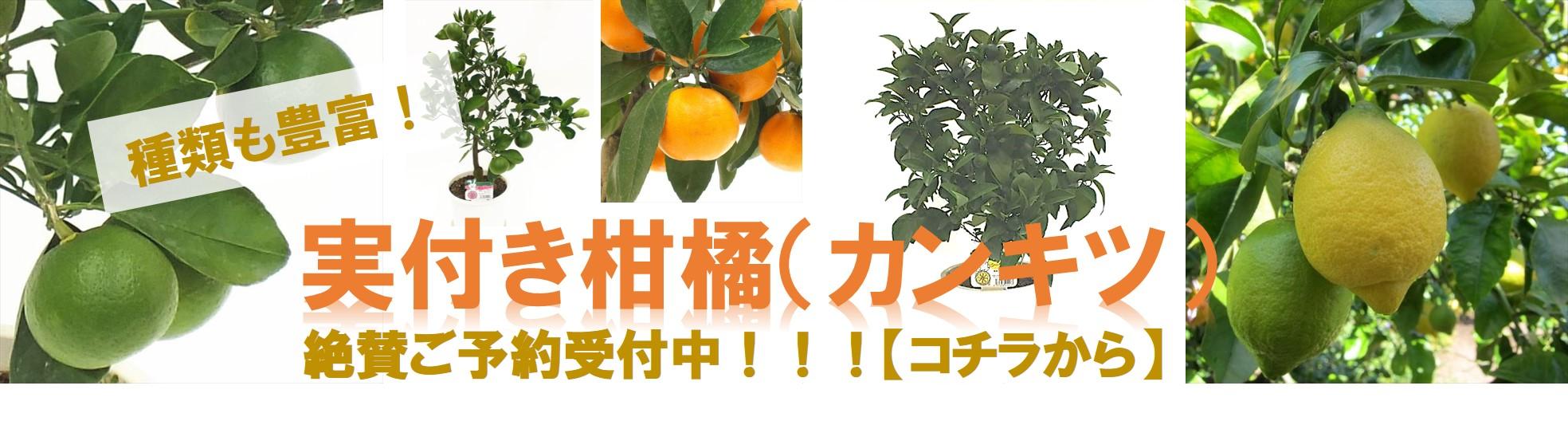 赤塚植物園オンライン 実付きカンキツ予約中・2021年