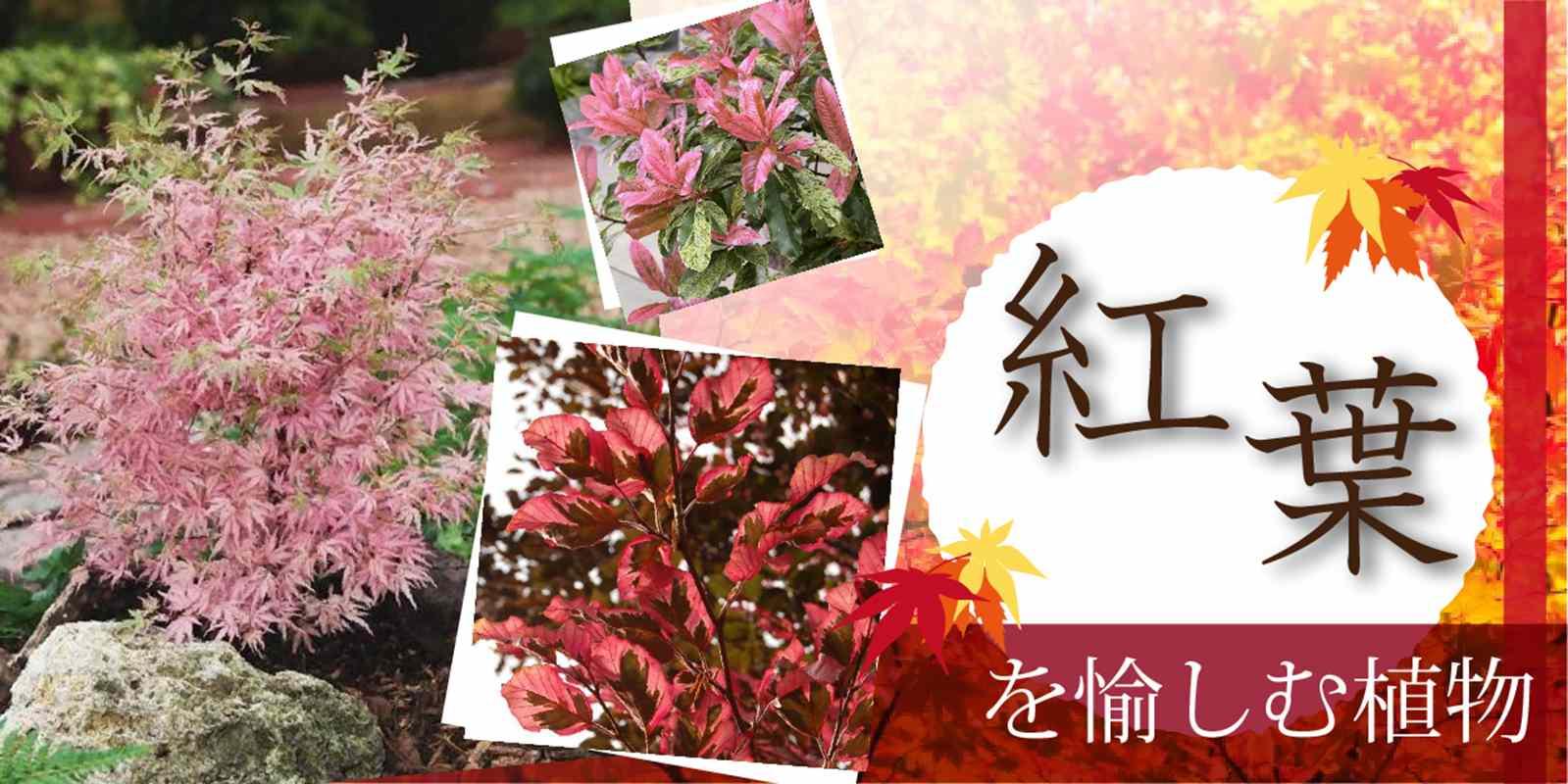 紅葉を愉しむ植物
