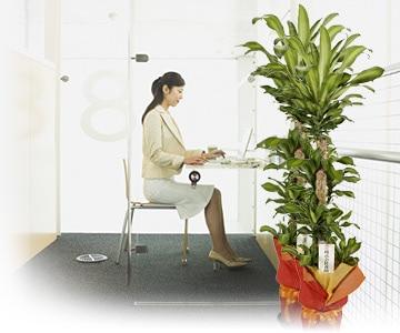 お祝い - 観葉植物