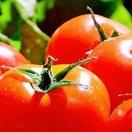 楽しさ、収量NO.1!トマト