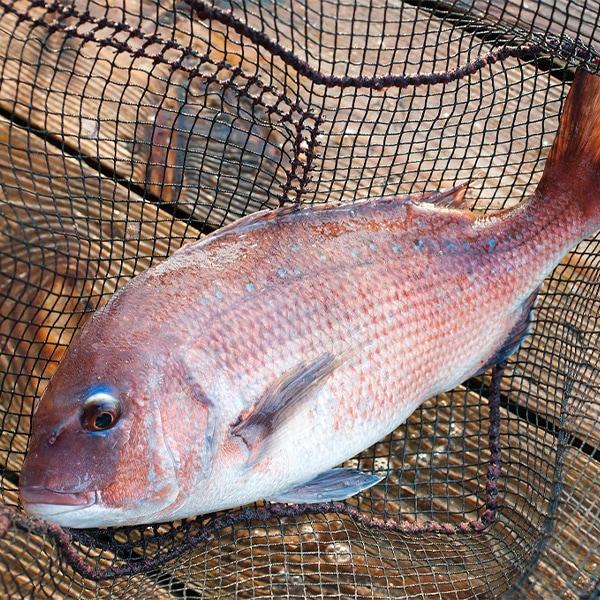 【MEL認証】愛南の活〆真鯛1尾丸魚約2kg ★送料無料★