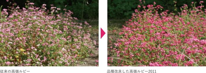 従来の高嶺ルビー・品種改良した高嶺ルビー2011