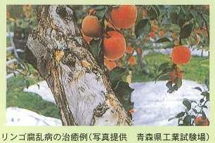 りんご腐乱病の治療例
