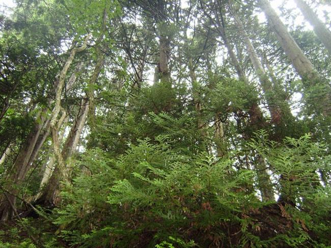 青森ひばの木