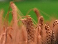 製麦〜発酵 大切な原料たちが、はじめて出会うとき