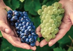 ヴィルボワで栽培されるブドウたち