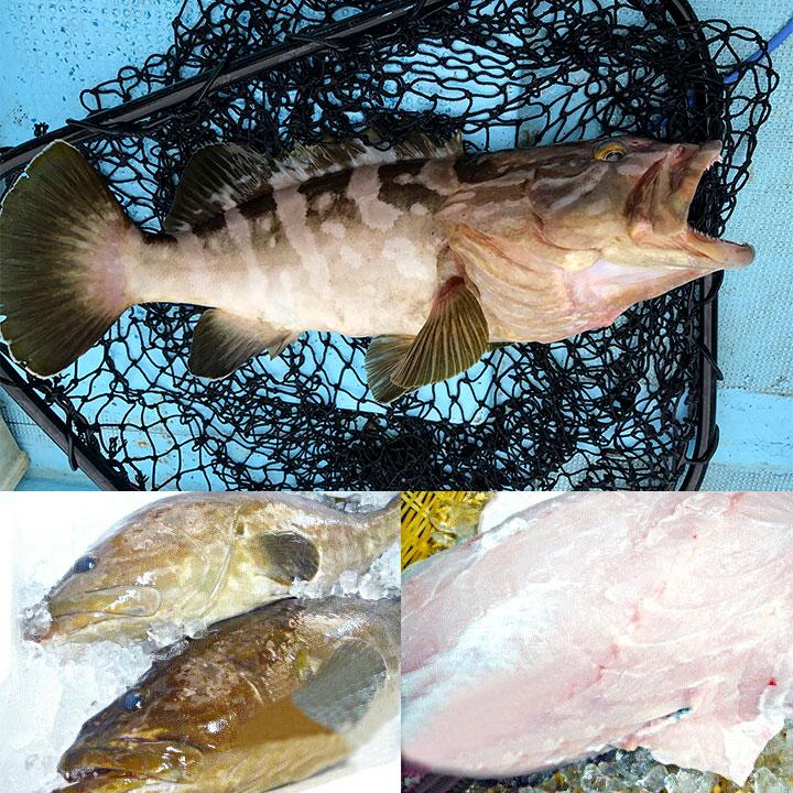 クエは1日1尾釣れれば大漁と言われる希少な魚