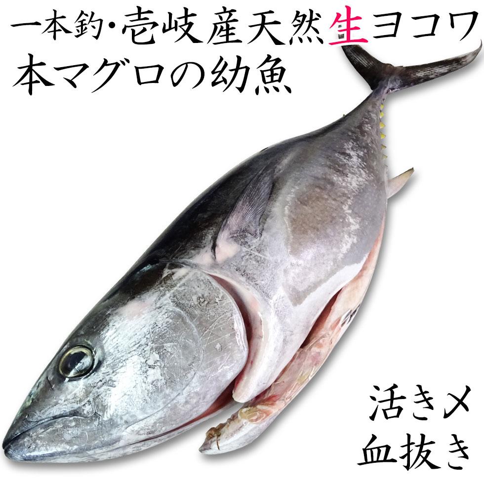 壱岐産天然生ヨコワ 本マグロの幼魚 一本釣り