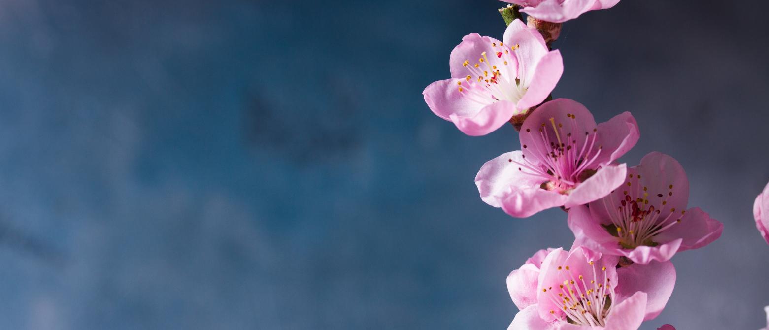 桜の花エキスとは