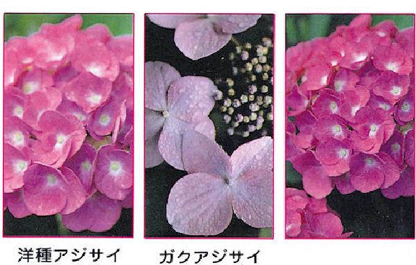 赤花専用アジサイアルカリ肥料(400g×40箱/ケース)
