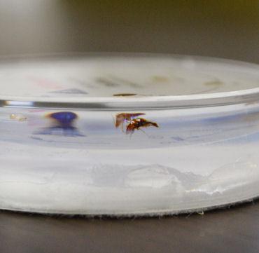トコジラミ(南京虫ナンキンムシ)樹脂標本