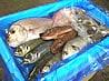 鮮魚通販|シートへ鮮魚を並べます