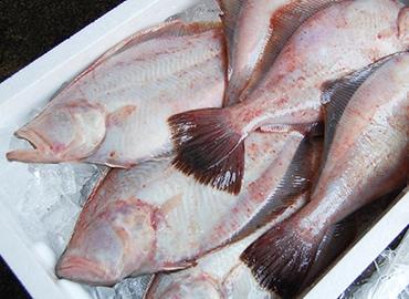 鮮魚通販|アカガレイ