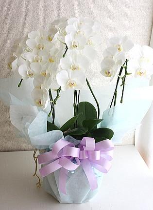 白ミディ胡蝶蘭アマビリス