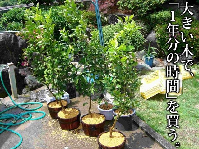 レモンの木:高さ約1.5m