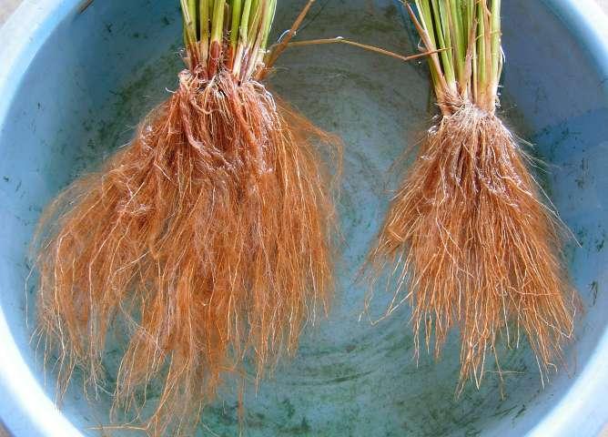 左・植酸栽培:右・一般栽培