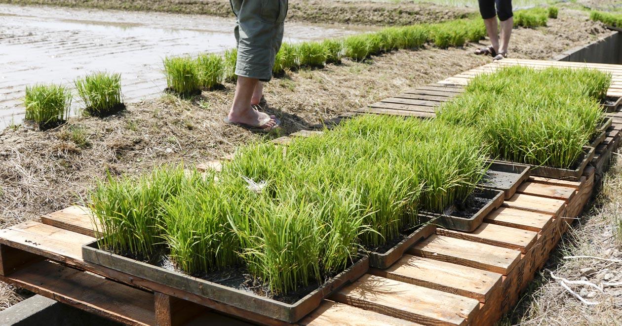 植酸栽培の指導