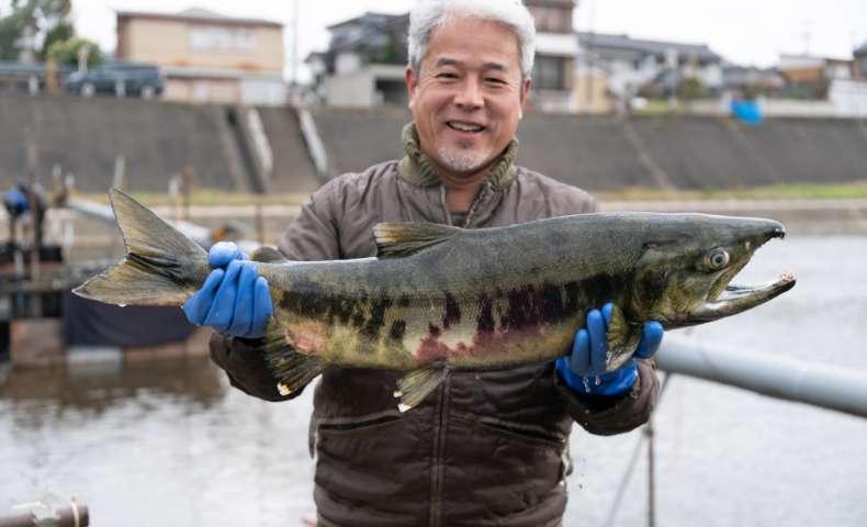 こだわりの農法:遡上した鮭を肥料に