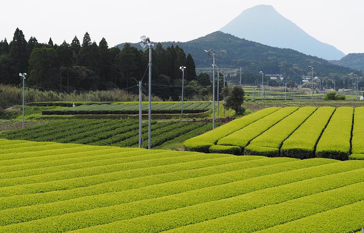 厳選されたお茶農家様と市場での取引